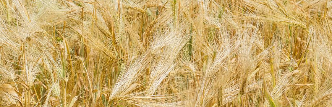 nasiona jęczmienia ozimego