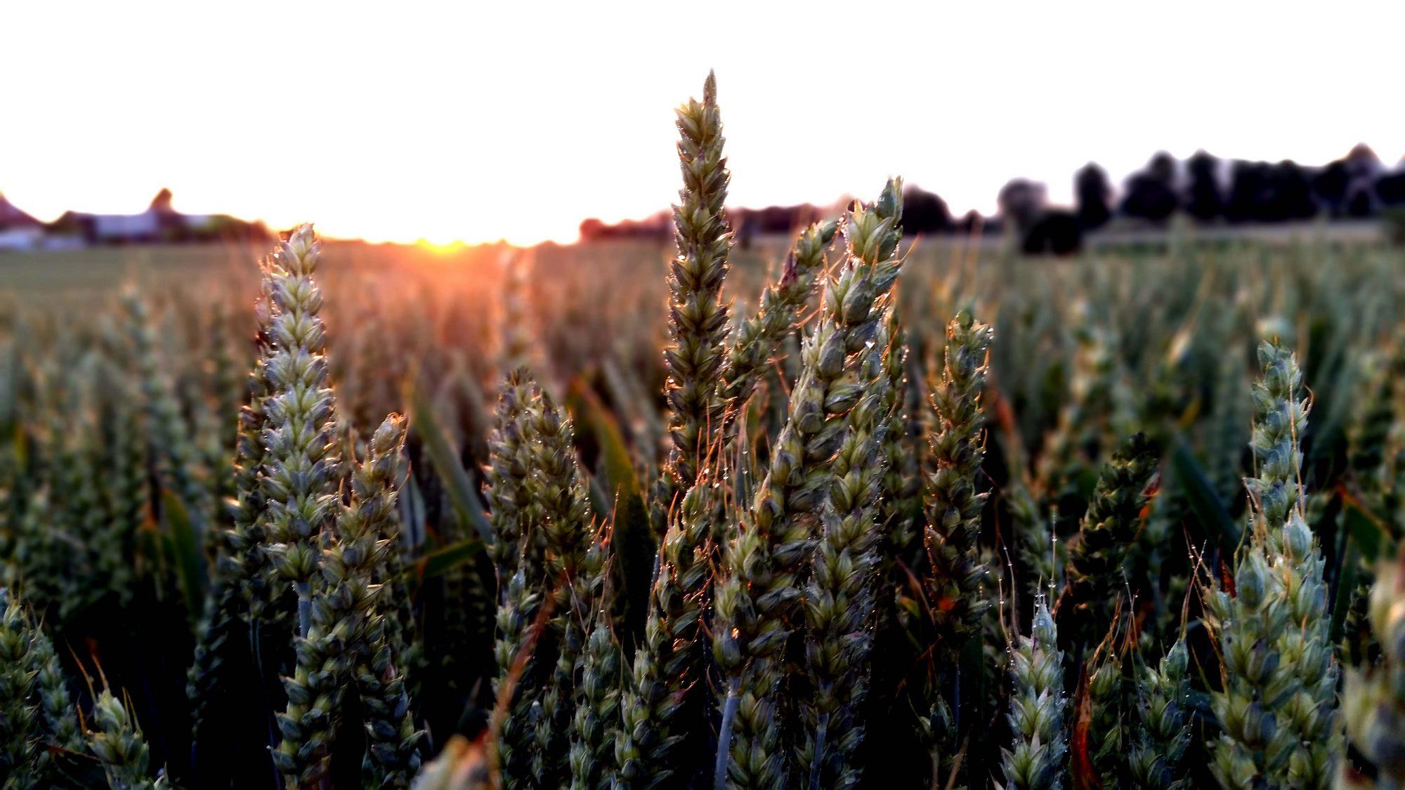 kłosy pszenicy kalman