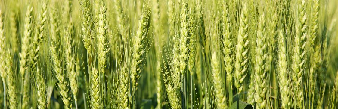 odmiany pszenicy jarej