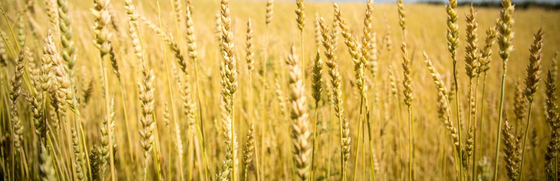 pszenica jara odmiany