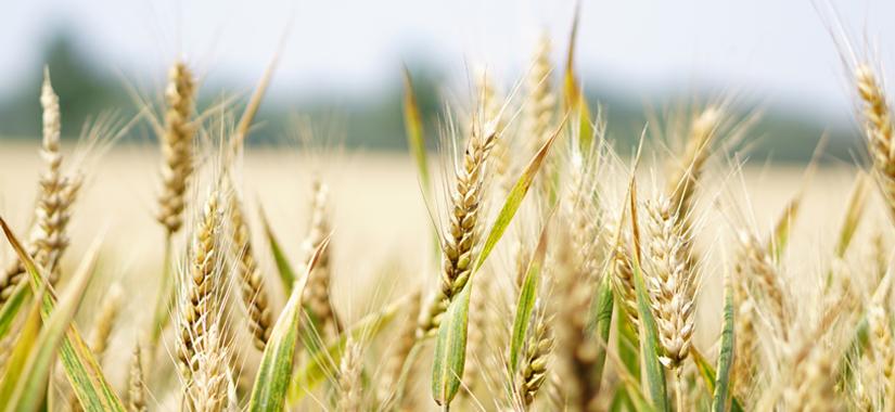 Charakterystyka odmian pszenicy ozimej