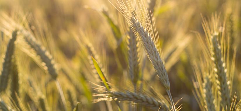 Odmiany pszenżyta ozimego na słabe gleby