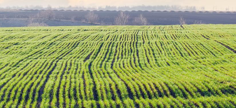 Jaką pszenicę ozimą wybrać na słabe gleby?