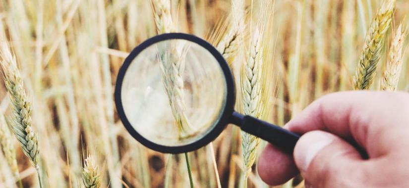 Zapobieganie i zwalczanie śnieci cuchnącej pszenicy