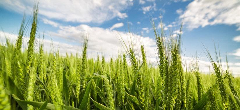 Co musisz wiedzieć o pszenicy przewódkowej?