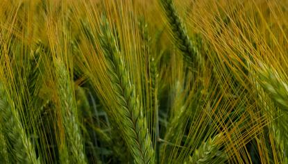pszenżyto odmiany orinoko