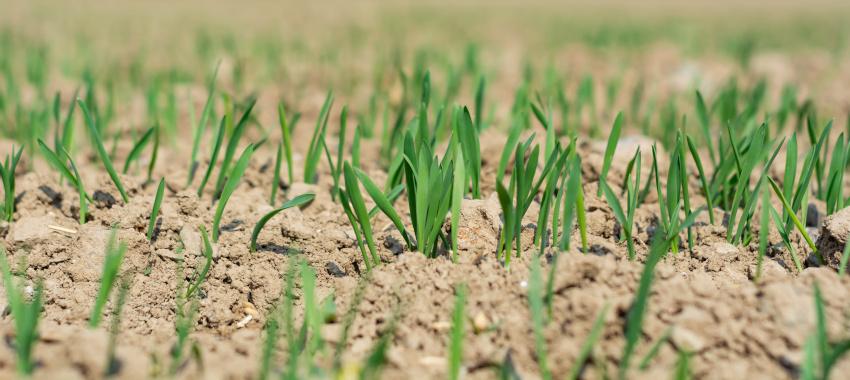 Jęczmień jary na słabe gleby