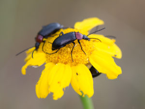Skrzypionki na kwiatostanie