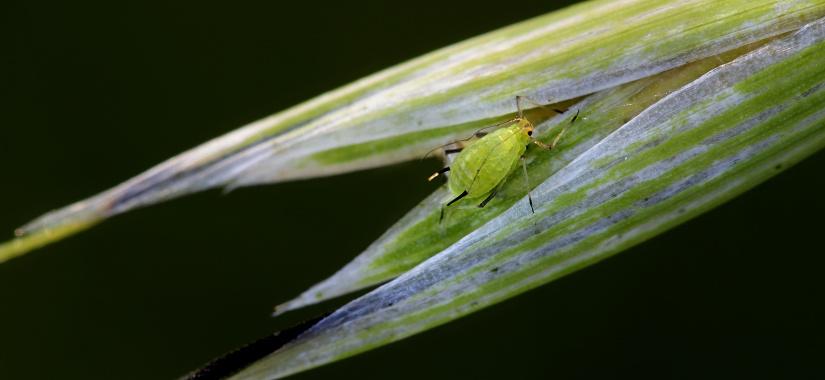 Jak rozpoznać szkodniki zbóż, zwalczyć je i o nich zapomnieć?
