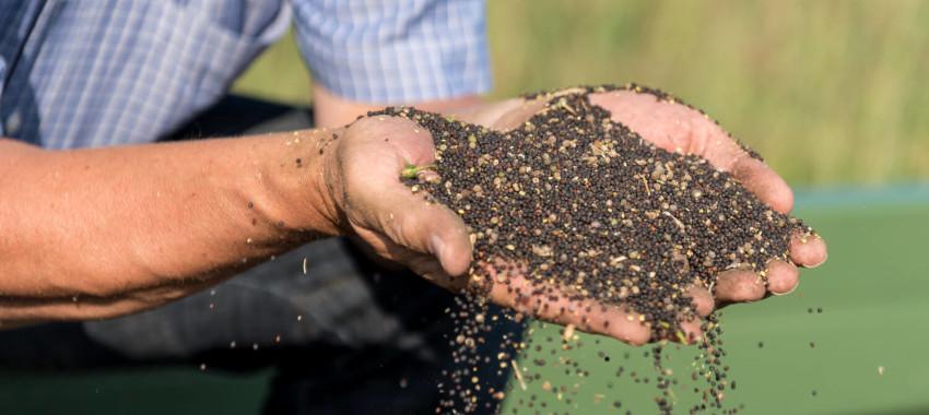 Zaprawianie nasion rzepaku – o czym musisz pamiętać