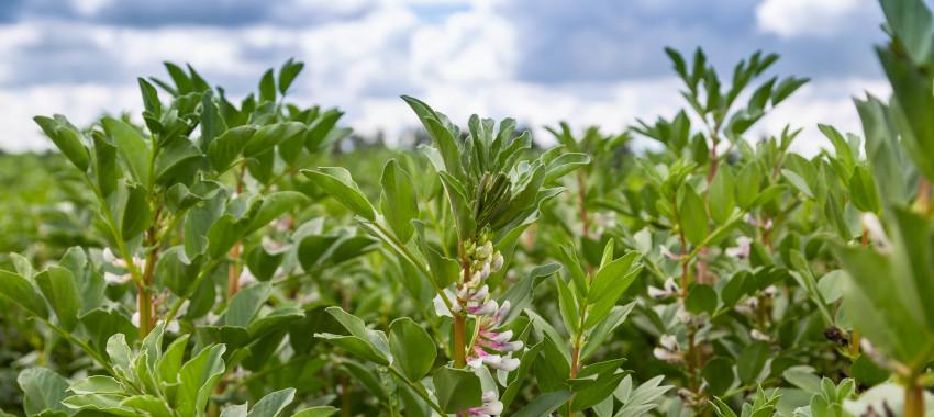 Uprawa bobiku – o czym musisz wiedzieć?